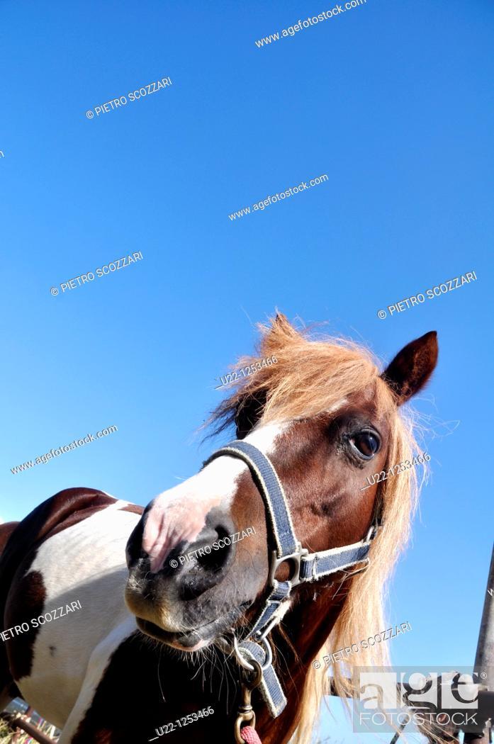 Stock Photo: Verucchio (Rimini, Italy): horse at the Fira di Quatorg ('Fourteen Fair', or Fiera di Santa Croce), a cattle fair in September.