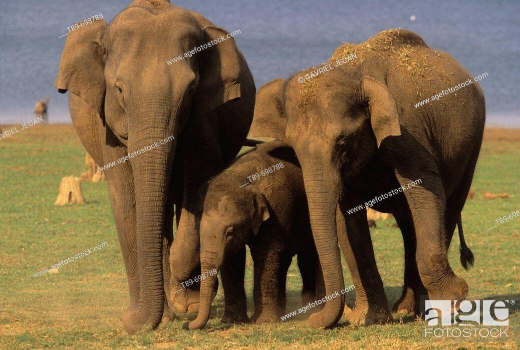 Stock Photo: Asian Elephant (Elephas maximus).