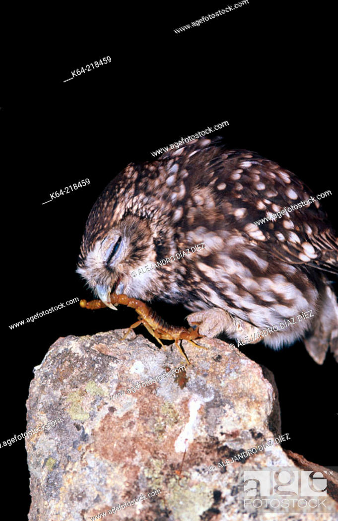 Stock Photo: Little Owl (Athene noctua) eating a scorpion.