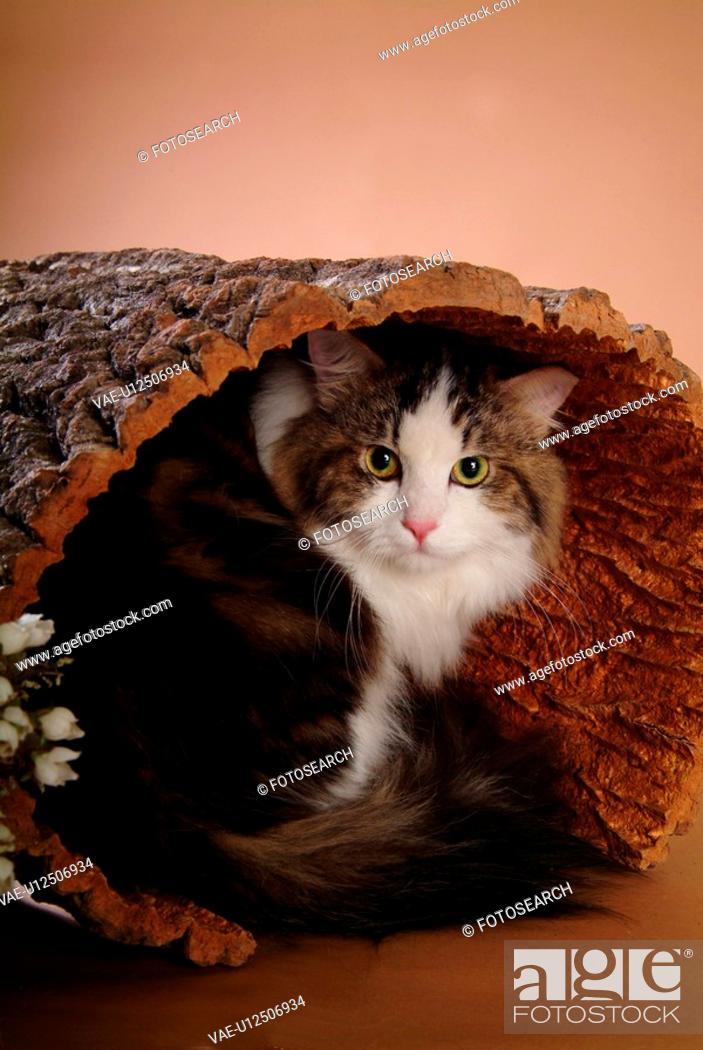Stock Photo: feline, domestic animal, companion, closeup, close up, faithful, turkishangora.