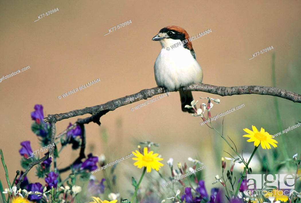 Stock Photo: Woodchat Shrikes (Lanius senator). Extremadura. Spain.