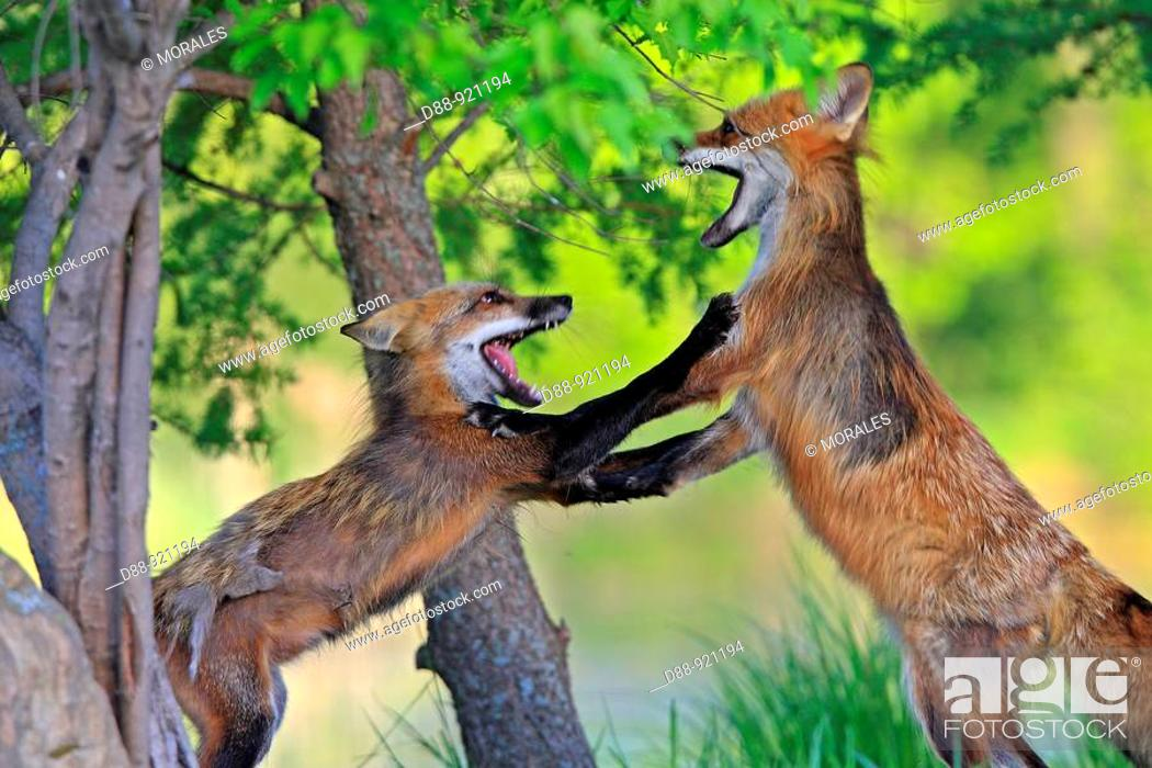 Stock Photo: Red Fox (Vulpes vulpes), adults fighting.