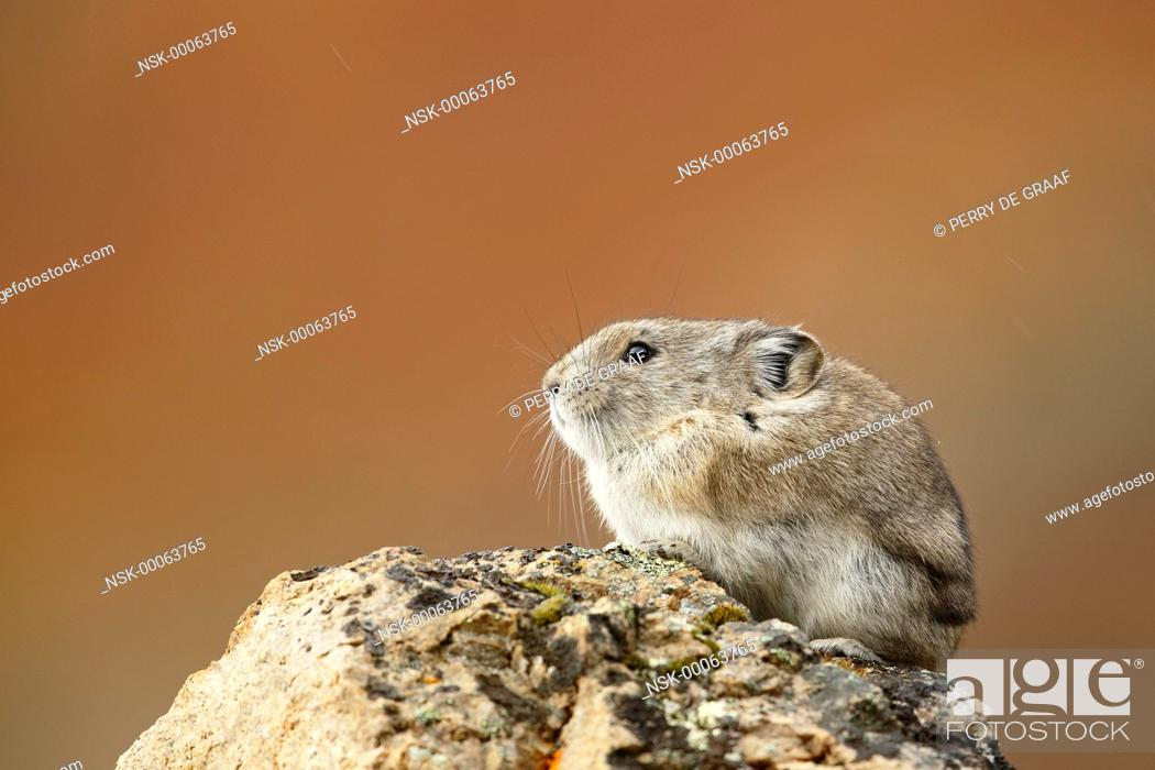 Imagen: Collared Pika (Ochotona collaris) sitting on a rock with autumn colors in the background, United States, Alaska, Denali National Park and Preserve.