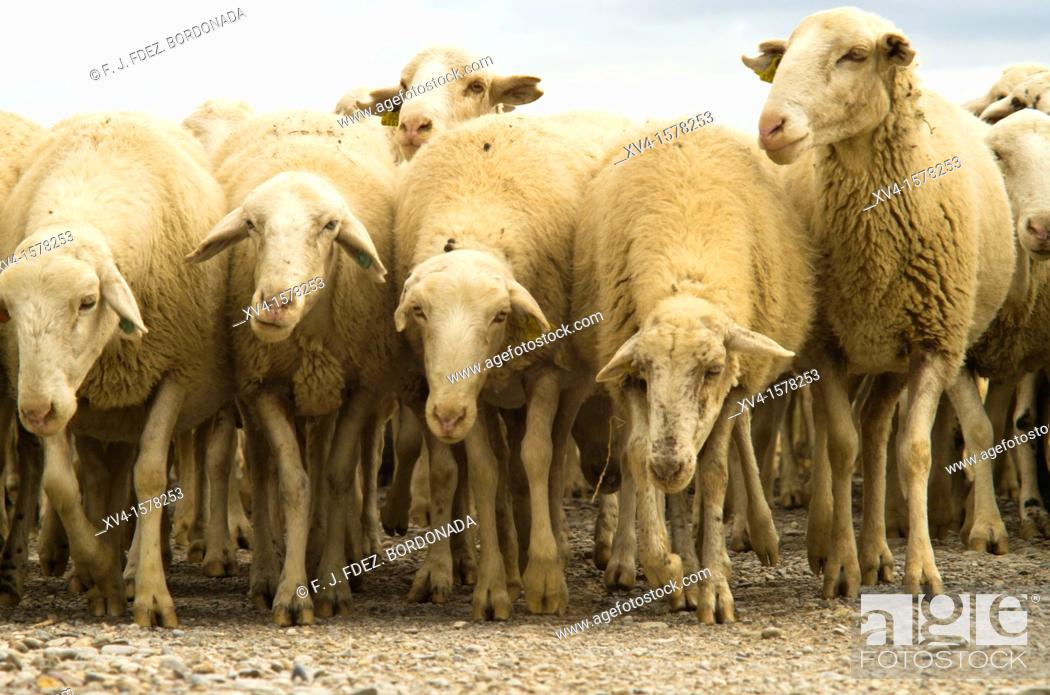 Stock Photo: Traditional day of trashumance in Bardenas Reales Nature Park  Navarre, Spain.