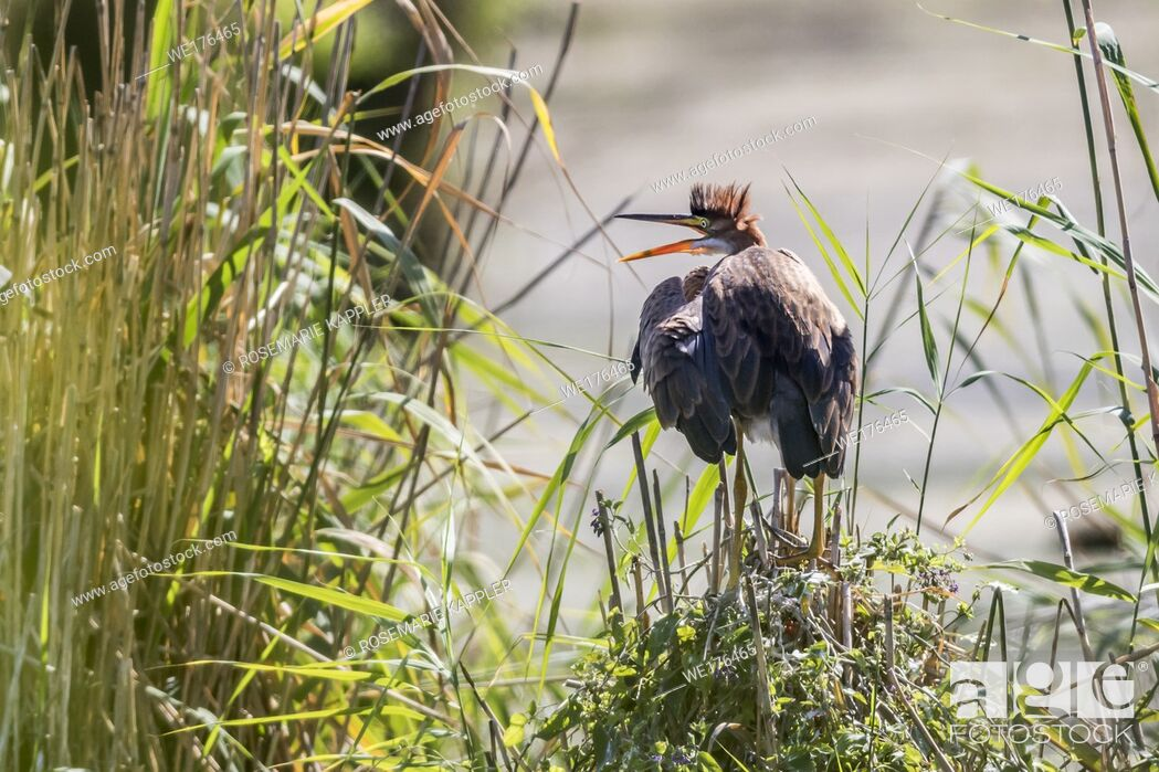 Stock Photo: Germany, Baden-Württemberg, Waghäusel - A purple heron hides themselve in the hidden.