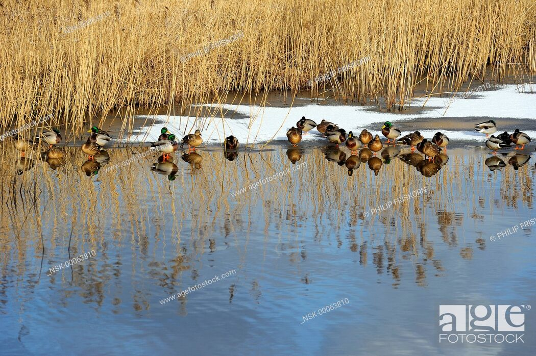 Imagen: A group of Mallards is resting on ice in one of the death riverarms of the river IJssel, The Netherlands, Overijssel, National Landscape IJsseldelta.
