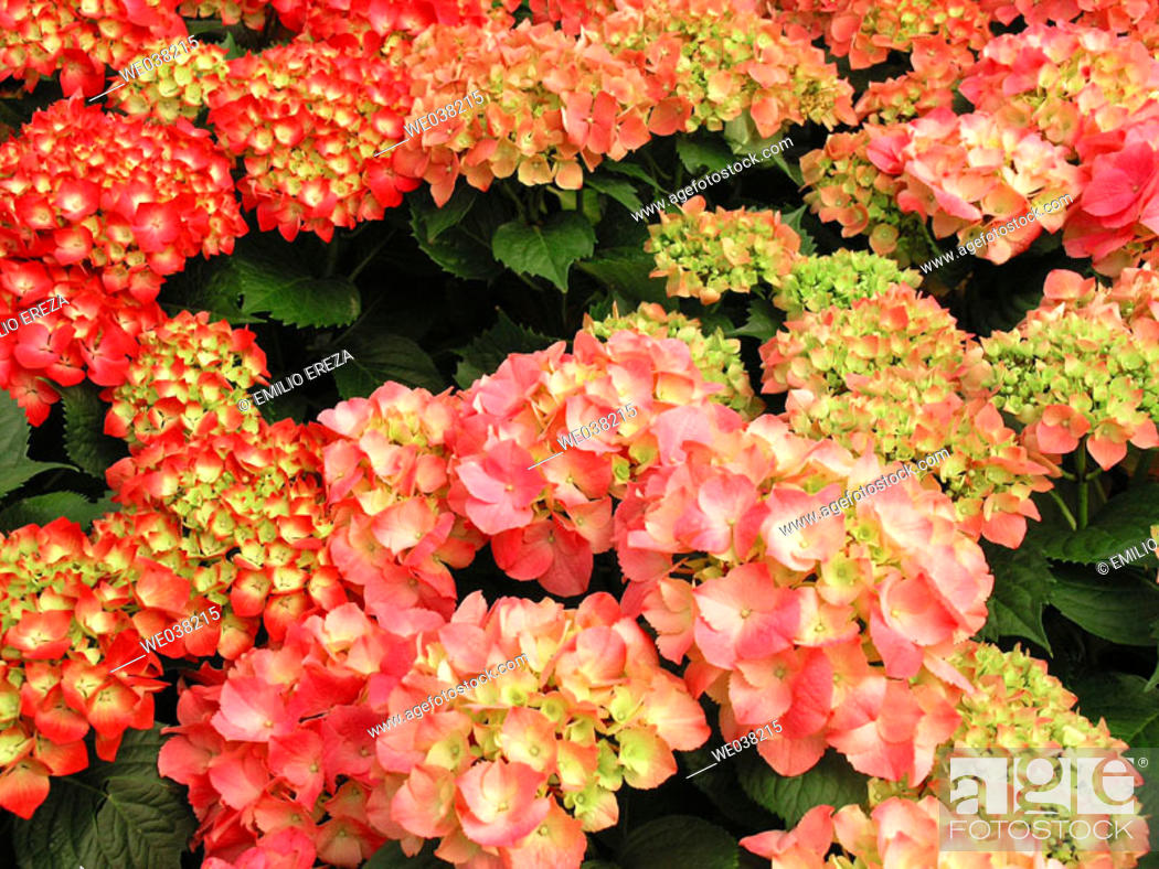 Stock Photo: Bigleaf Hydrangea (Hydrangea macrophylla).
