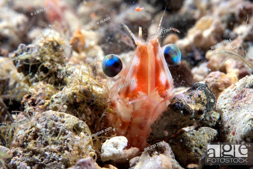 Stock Photo: Shrimp or Velvet Shrimp (Metapenaeopsis lamellata), Philippines, Asia.