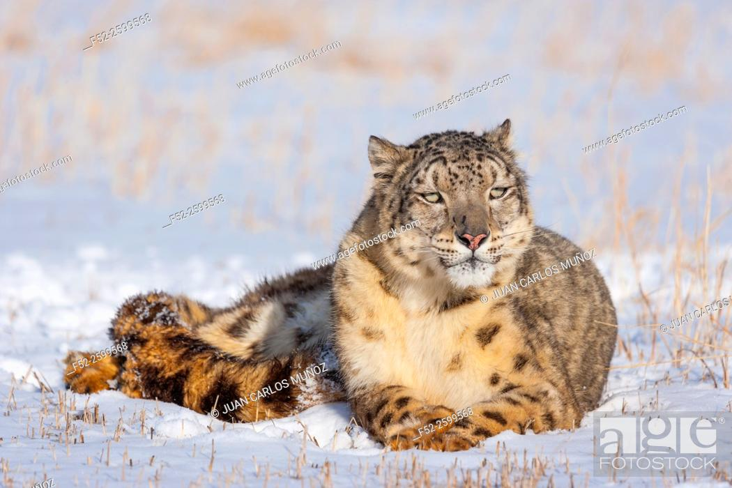 Photo de stock: Snow leopard (Panthera uncia). Colorado, Usa.