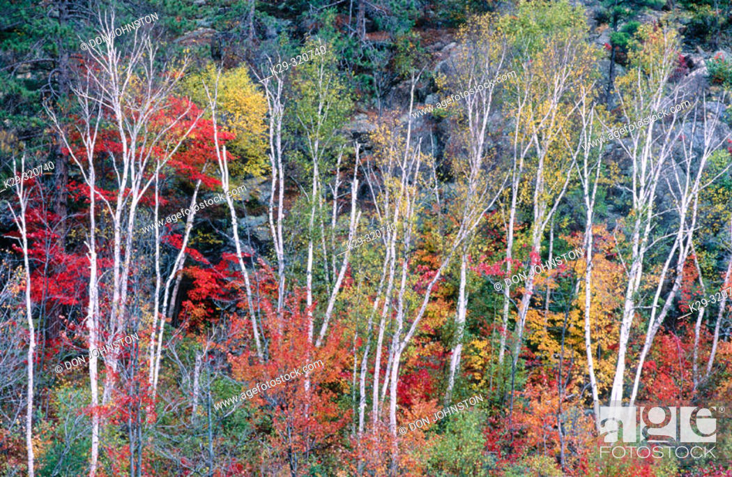 Stock Photo: Maple trees and birch in autumn colour. Levack. Ontario. Canada.