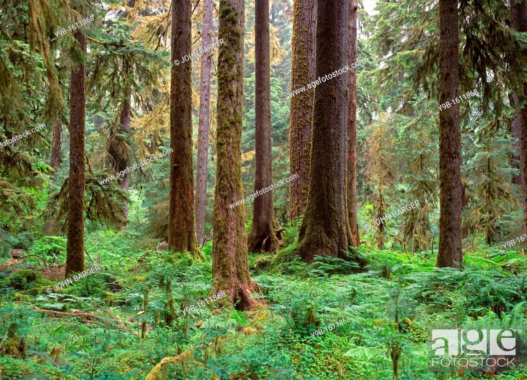 Stock Photo: Sitka spruce and western hemlock in temperate rain forest, Hoh Rain Forest, Olympic National Park, Washington, USA.