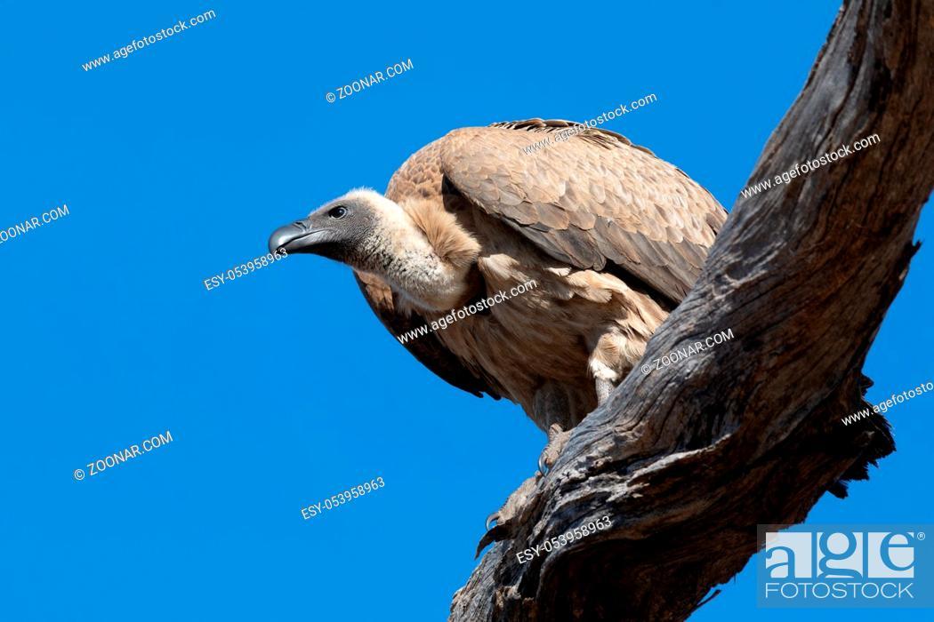 Stock Photo: big bird scavenger White backed vulture, sitting on tree against blue sky, Chobe, Botswana safari wildlife.