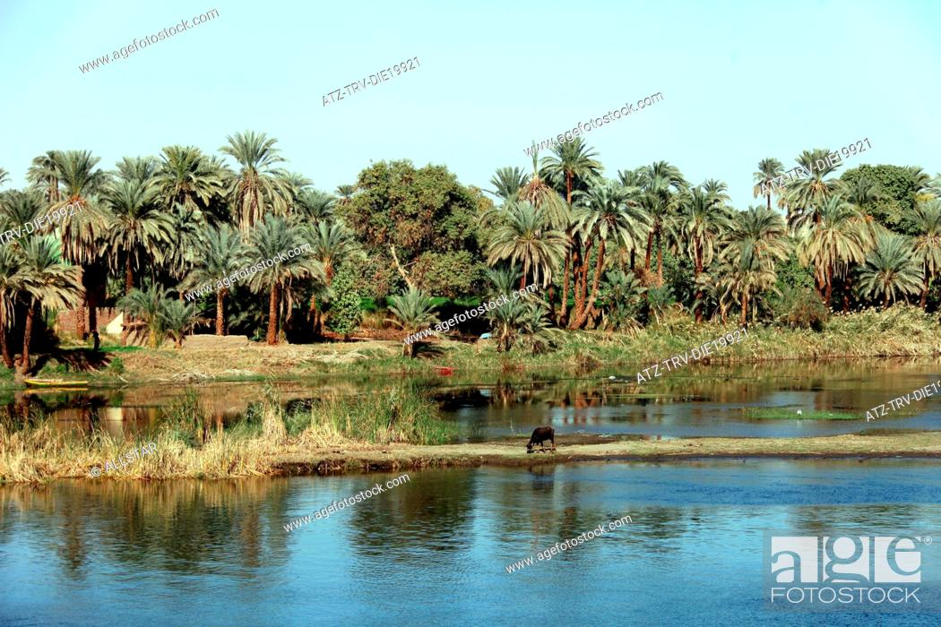 Stock Photo: COW ON BANK & PALM TREES; RIVER NILE, EGYPT; 09/01/2013.