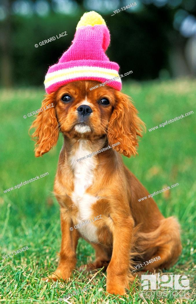 Stock Photo: CAVALIER KING CHARLES SPANIEL, PUP READY TO WINTER.