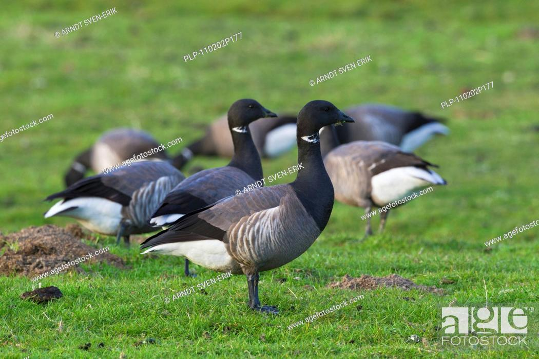 Stock Photo: Brent Geese Branta bernicla foraging in grassland, Wadden Sea National Park, Germany.