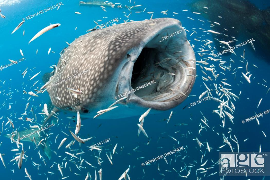 Stock Photo: Feeding Whale Shark, Rhincodon typus, Cenderawasih Bay, West Papua, Indonesia.