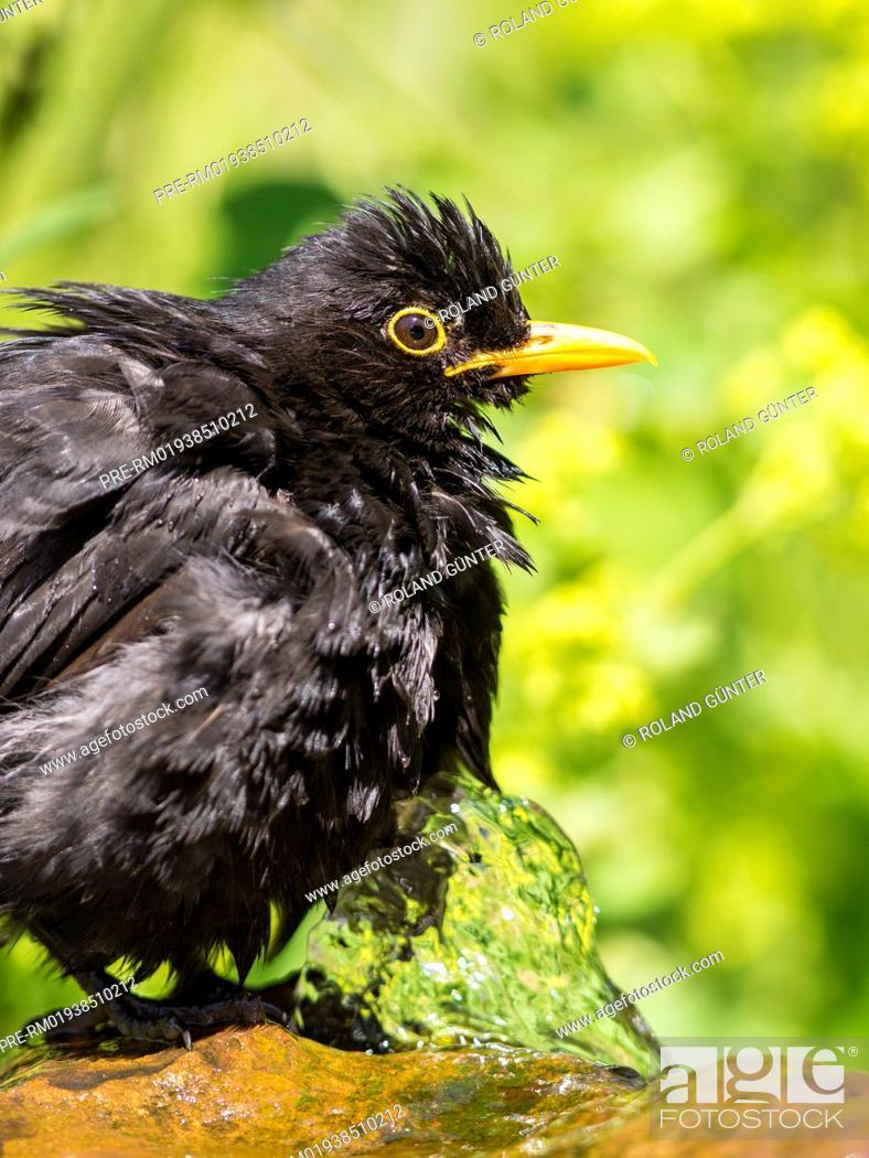 Imagen: Common Blackbird, Turdus merula, male / Amsel, Turdus merula, Männchen.