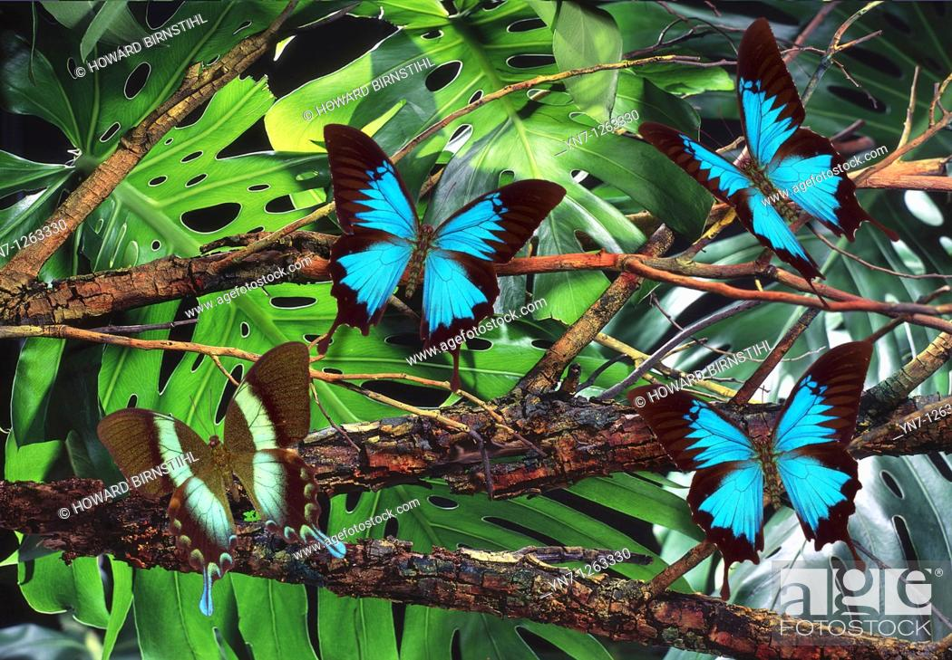Stock Photo: Bluewinged Papilio Ulysses and Greenwinged Papilio blumei butterflies in rainforest.