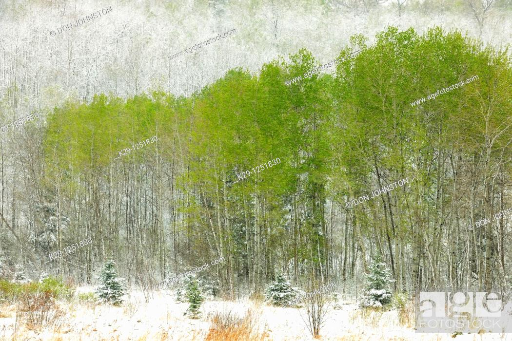 Stock Photo: Spring woodland in snowstorm. Ontario. Canada.