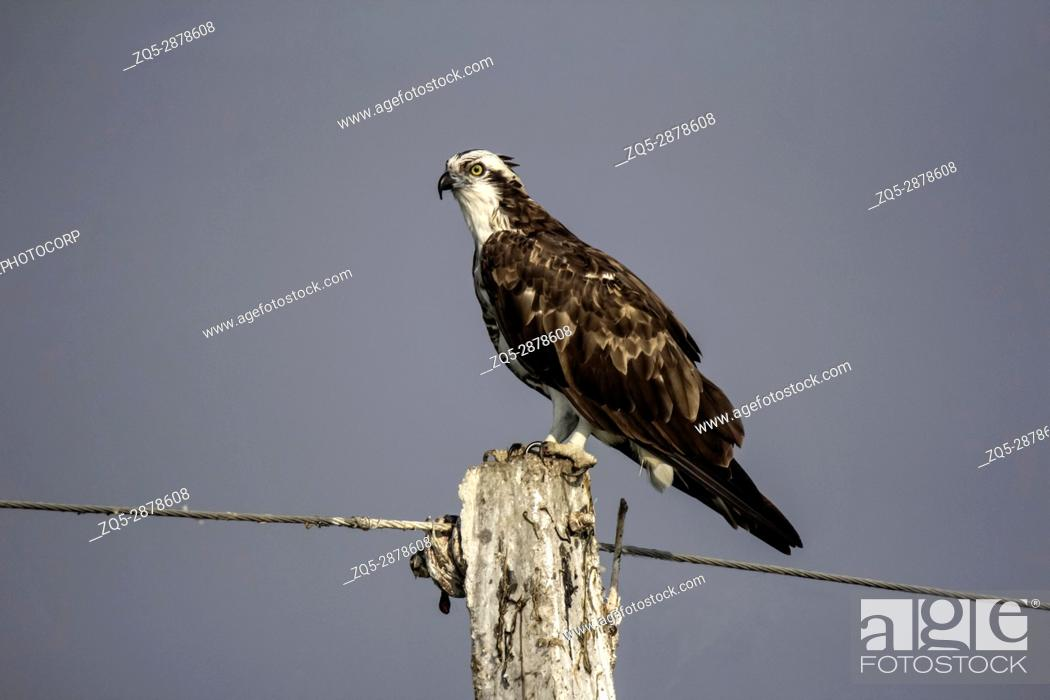 Imagen: Osprey sitting on pole. Pandion haliaetus, also called fish eagle or sea hawk.