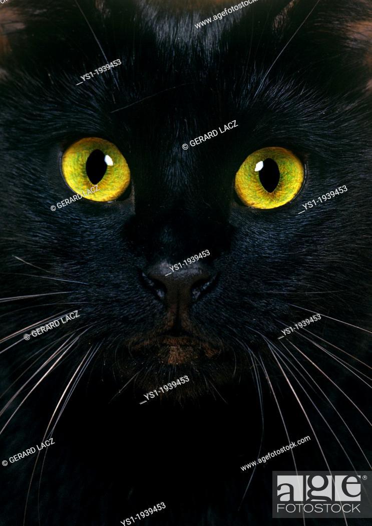 Stock Photo: Black Domestic Cat, Close Up of Portrait.