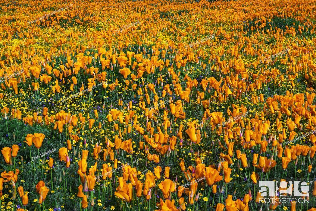 Stock Photo: California Poppies (Eschscholzia californica) and Goldfield (Lasthenia californica), Antelope Valley, California USA.
