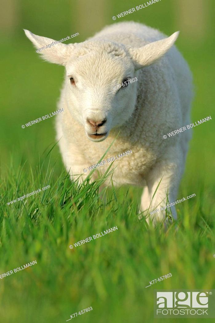 Stock Photo: Domestic Sheep (Ovis aries), lamb. Mainland, Orkney Islands, Scotland.