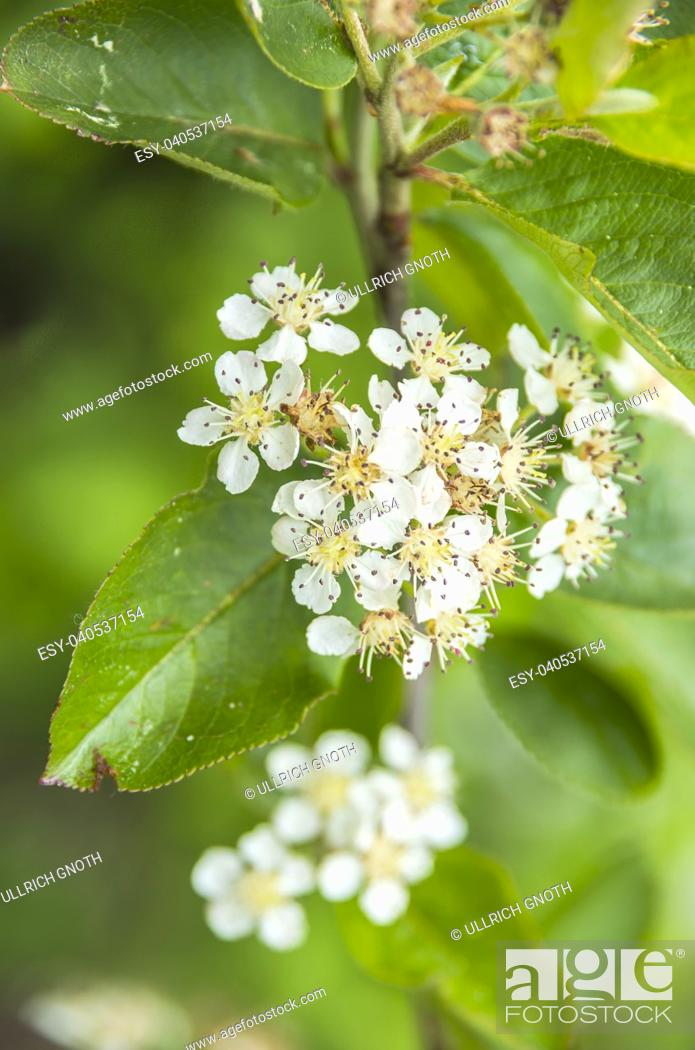 Stock Photo: Aronia in full bloom and almost already faded.