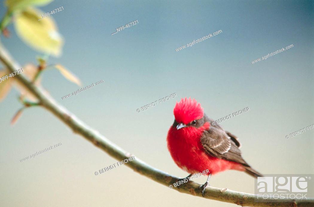 Stock Photo: Vermilion flycatcher (Pyrocephalus rubinus) perching on a branch. Pantanal near Porto Joffre. Mato Grosso. Brazil.