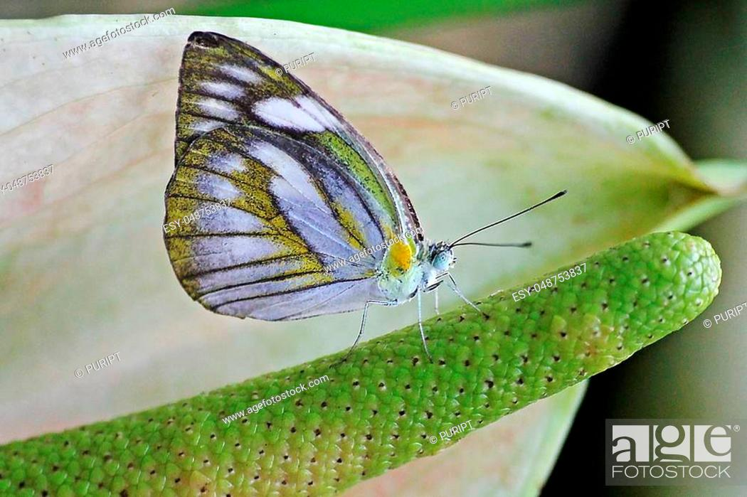 Stock Photo: The Common Gull butterfly On the pollen in nature.