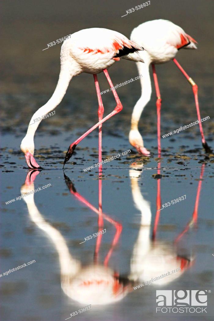 Stock Photo: Greater Flamingos (Phoenicopterus ruber).
