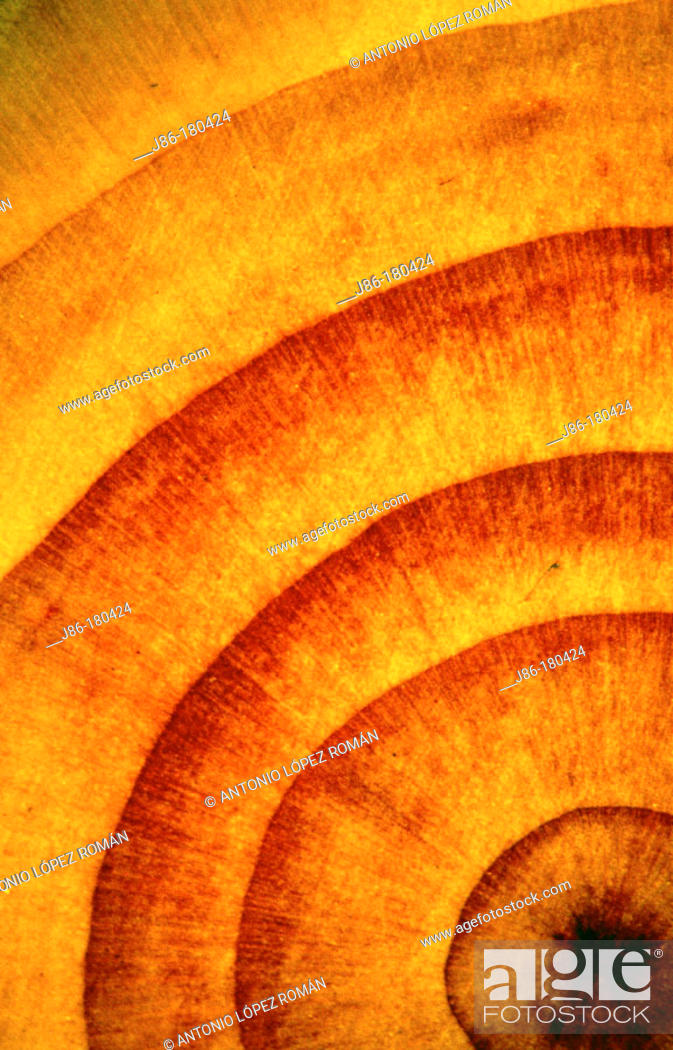Stock Photo: Detail of growing rings of cedar.