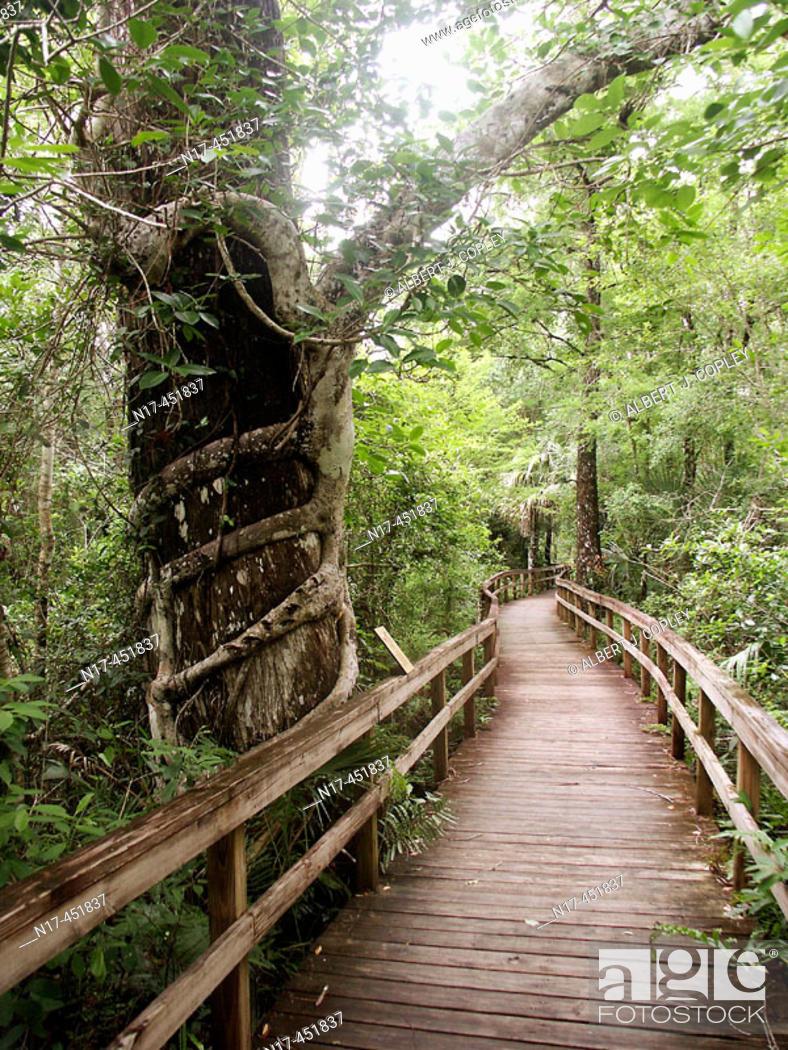 Stock Photo: Florida Everglades, Ficus aurea, boardwalk.