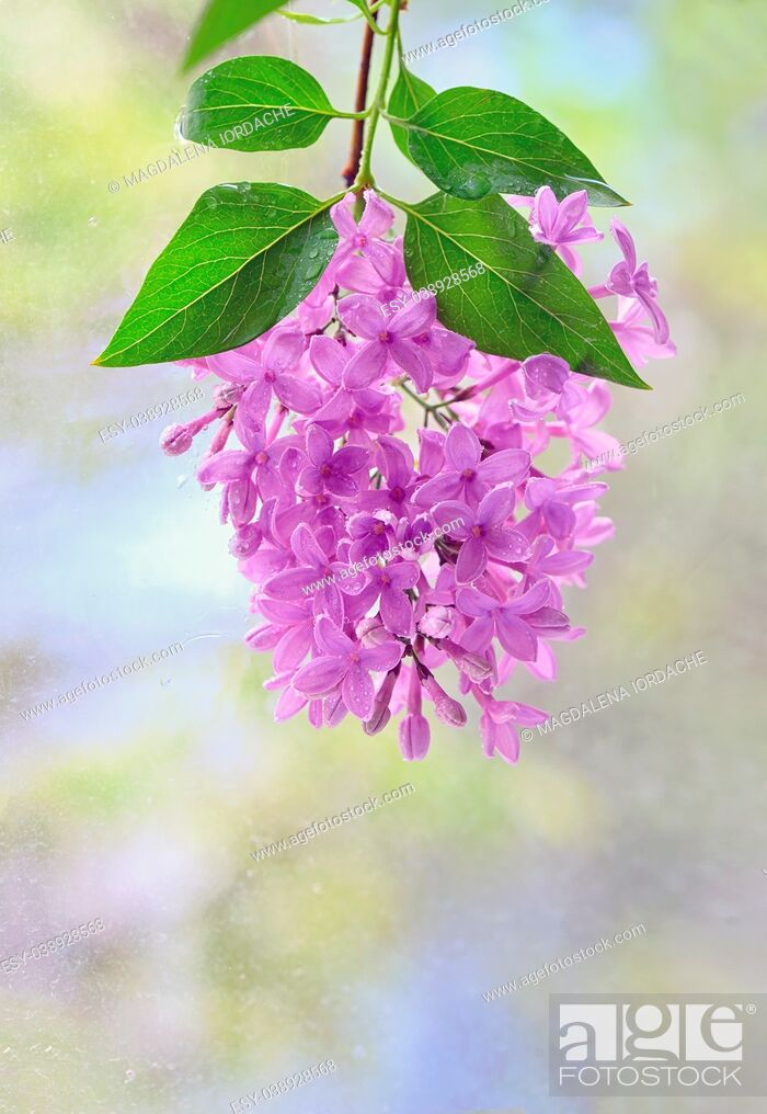 Stock Photo: Macro image of hanging spring lilac violet flowers.