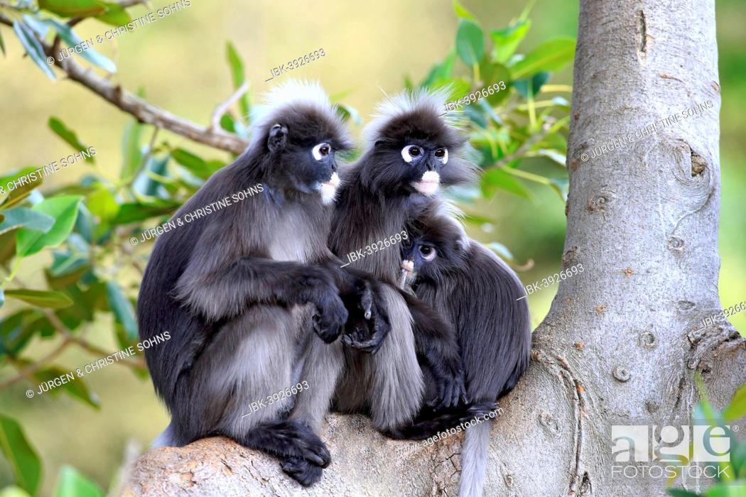 Stock Photo: Dusky Leaf Monkeys or Southern Langurs (Trachypithecus obscurus) monkey family on tree, female suckling young, native to Asia, Singapore.