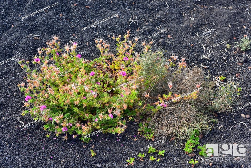Stock Photo: Rose geranium or rose-scented pelargonium (Pelargonium capitatum) is a shrub native to South Africa and naturalized in Canary Islands.