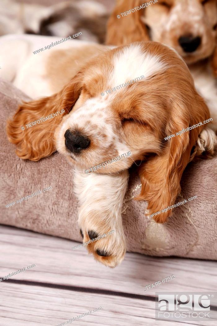 Stock Photo: sleeping English Cocker Spaniel Puppy.