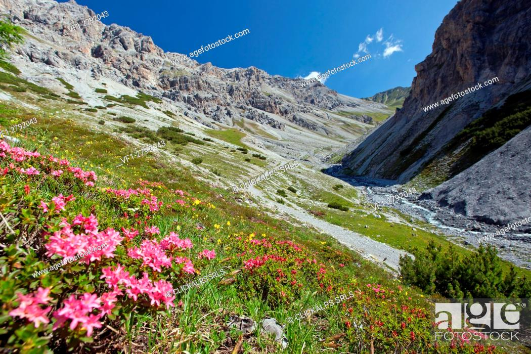 Stock Photo: Rhododendron blooming in the wild Valle della Forcola, Valtellina, Lombardy Italy Europe.