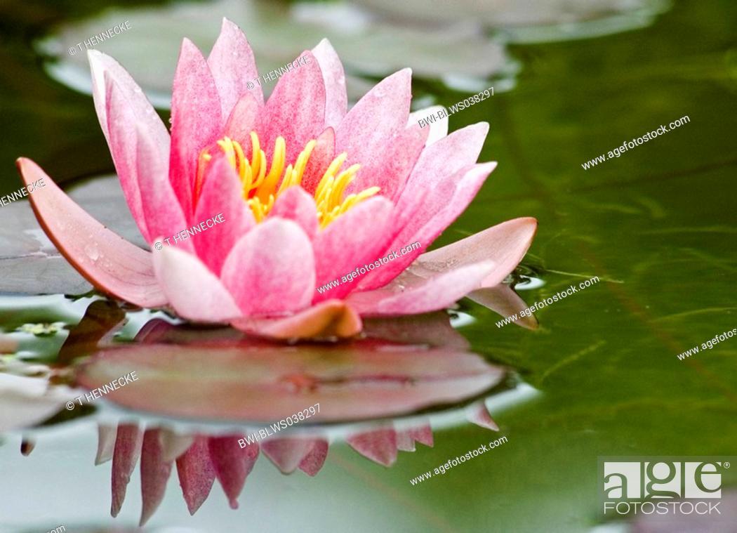 Imagen: Pygmi Water Lily Nymphaea tetragona.