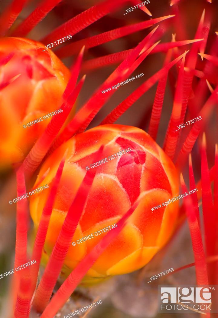 Stock Photo: Barrel cactus bud, Desert Garden, Balboa Park, San Diego, California.