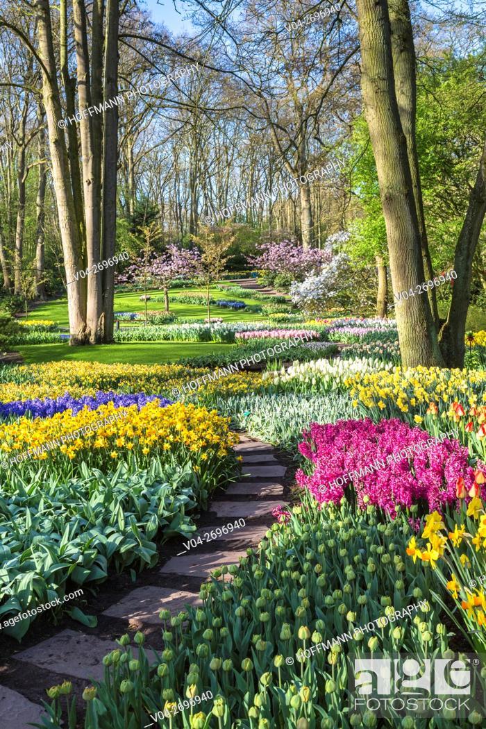 Imagen: Beautiful blooming flowers in the famous Keukenhof (Keukenhof Gardens), The Netherlands, Europe.
