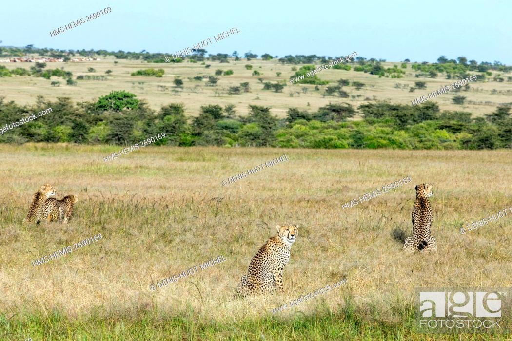 Stock Photo: Kenya, Masai-Mara Game Reserve, Cheetah (Acinonyx jubatus), female and young ones.