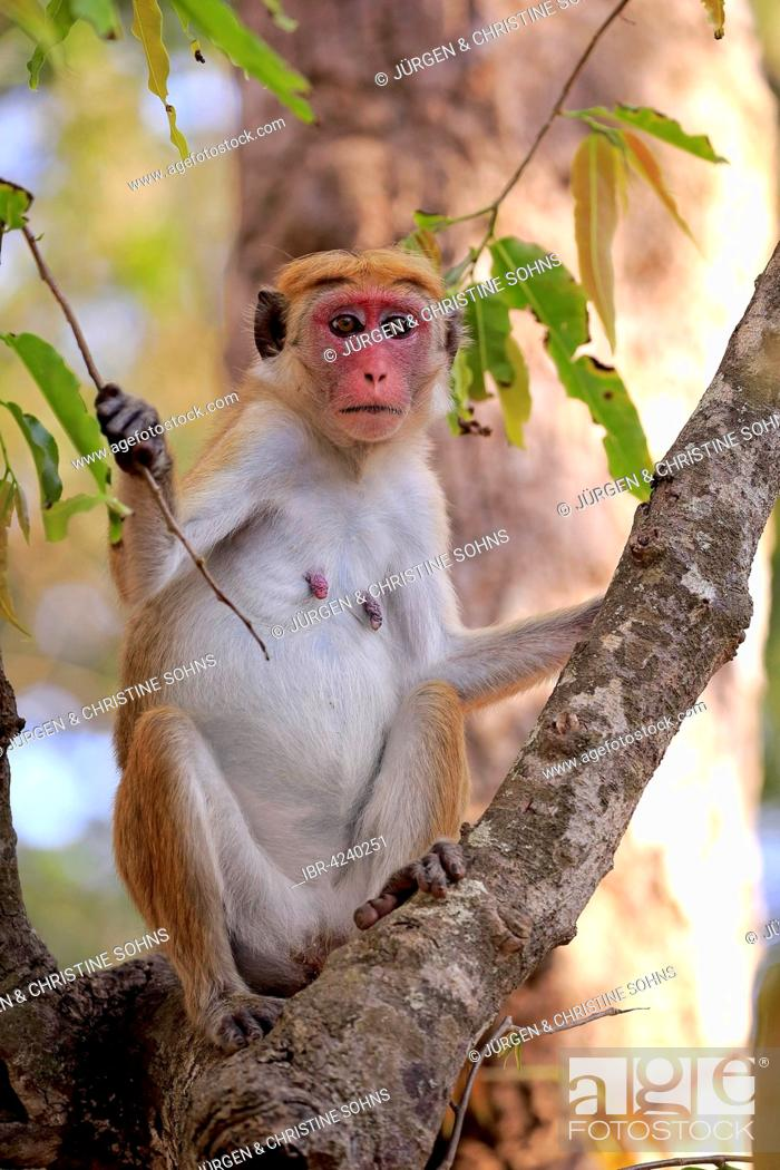 Stock Photo: Toque macaque (Macaca sinica), adult female, sitting in a tree, Yala National Park, Sri Lanka.
