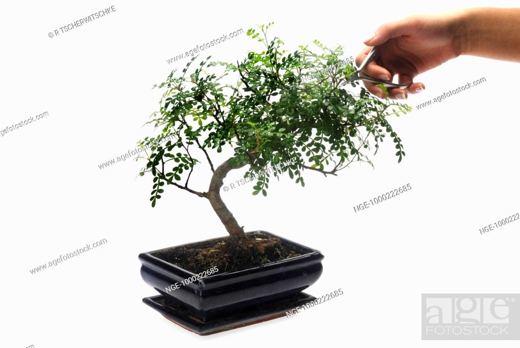Bonsai, Tree, Care, Stock Photo, Picture And Rights Managed