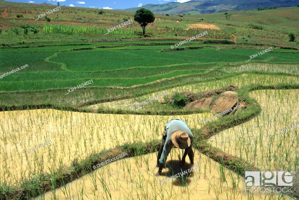 Stock Photo: transplanting, paddy field in Central Highlands, Republic of Madagascar, Indian Ocean.