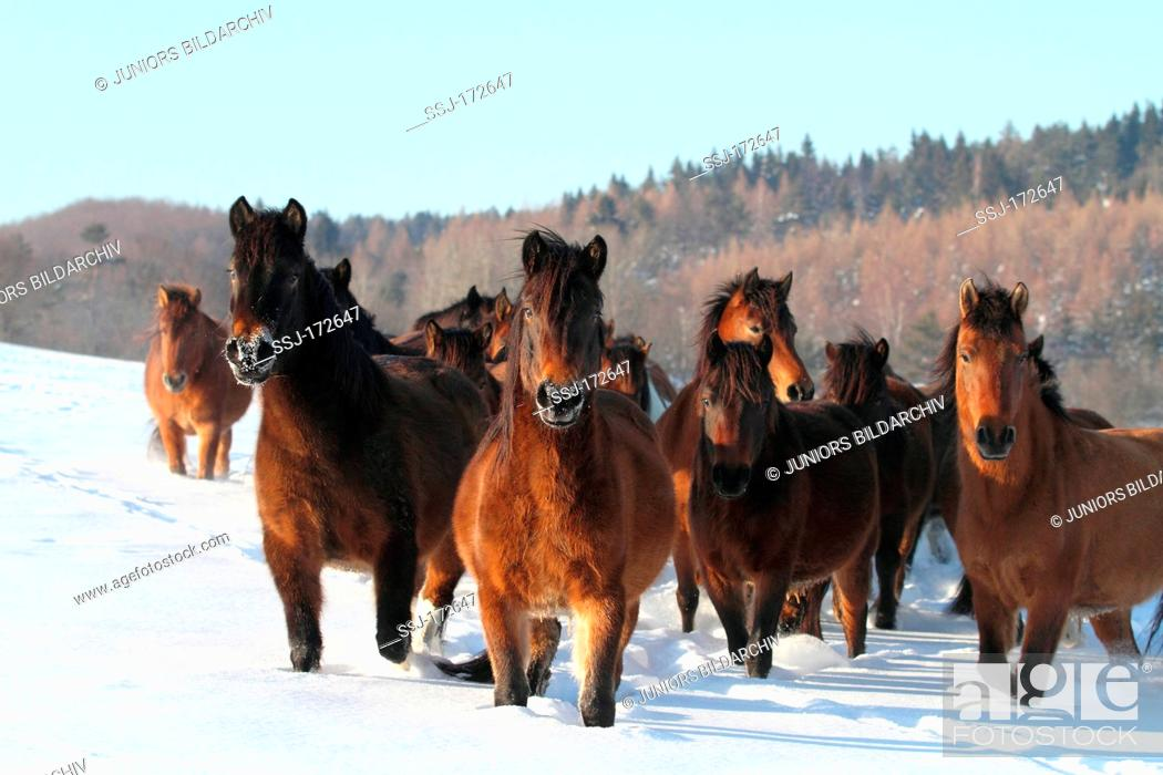 Stock Photo: Hucul Pony, Carpathian Pony, Huzul. Herd standing on a snowy meadow.