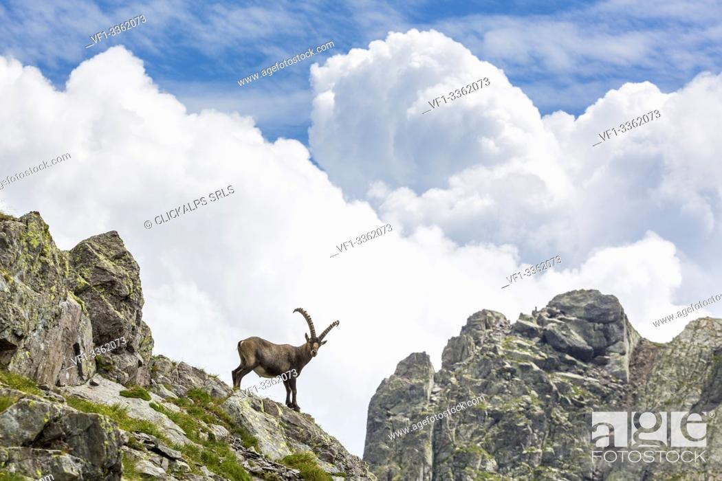 Stock Photo: Alpine ibex on rocks, Pizzo dei Tre Signori, Gerola valley, Sondrio province, Valtellina, Lombardy, Italy.