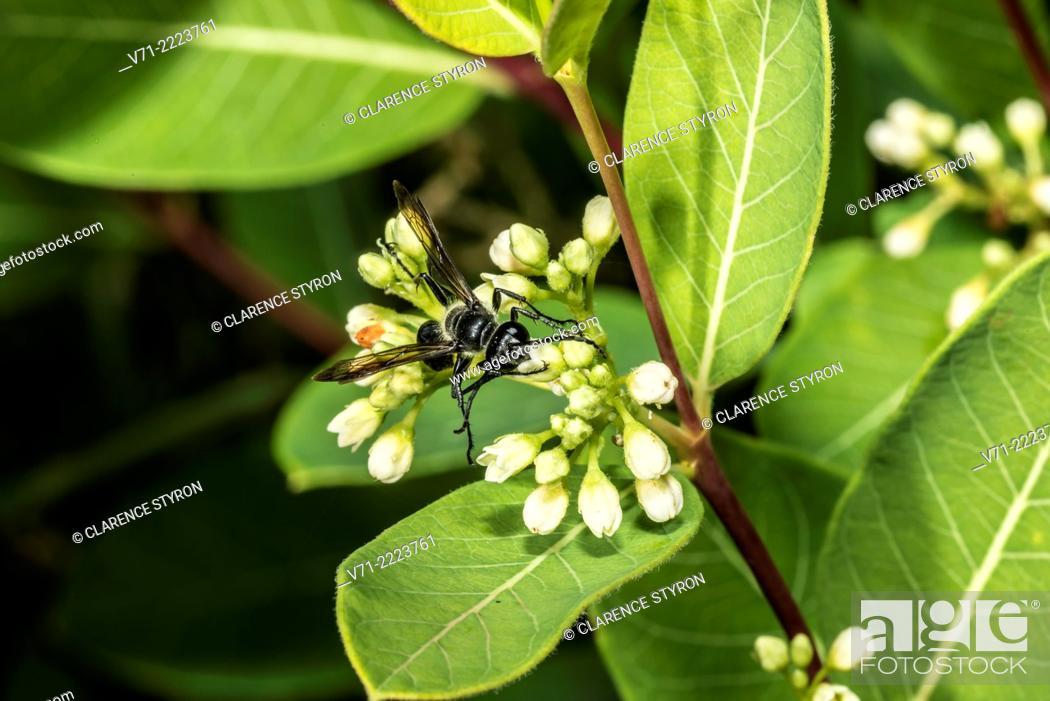 Stock Photo: Blue Mud Dauber (Chalybion californicum) Feeding on Indian Hemp (Apocynum cannabinum) Flower.