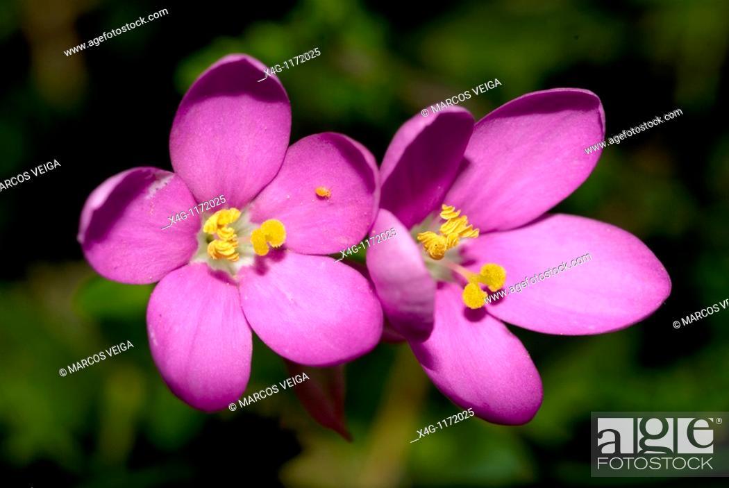 Stock Photo: Perennial Centaury  Centaurium scilloides.