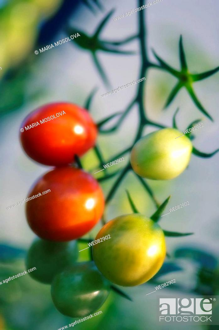 Stock Photo: Cherry Tomatoes. Solanum lycopersicon. August 2007. Maryland, USA.